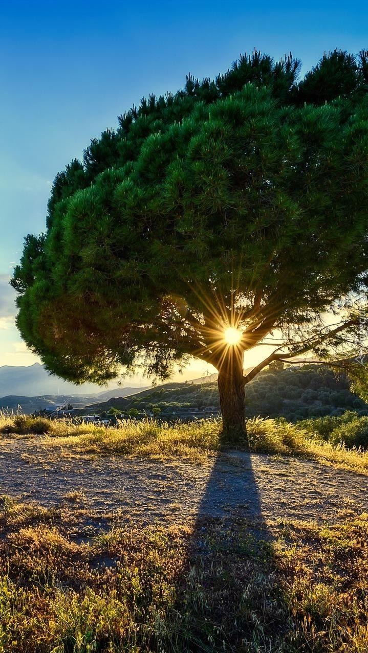 Promienie słońca w konarach sosny