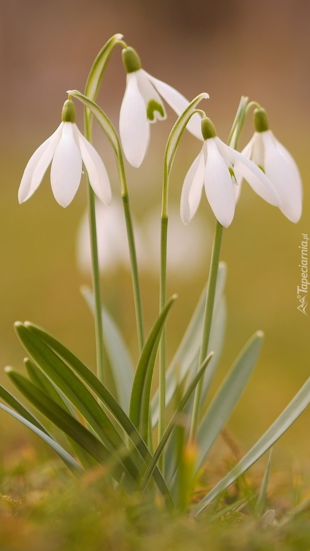Przebiśniegi białe rosnące w trawie