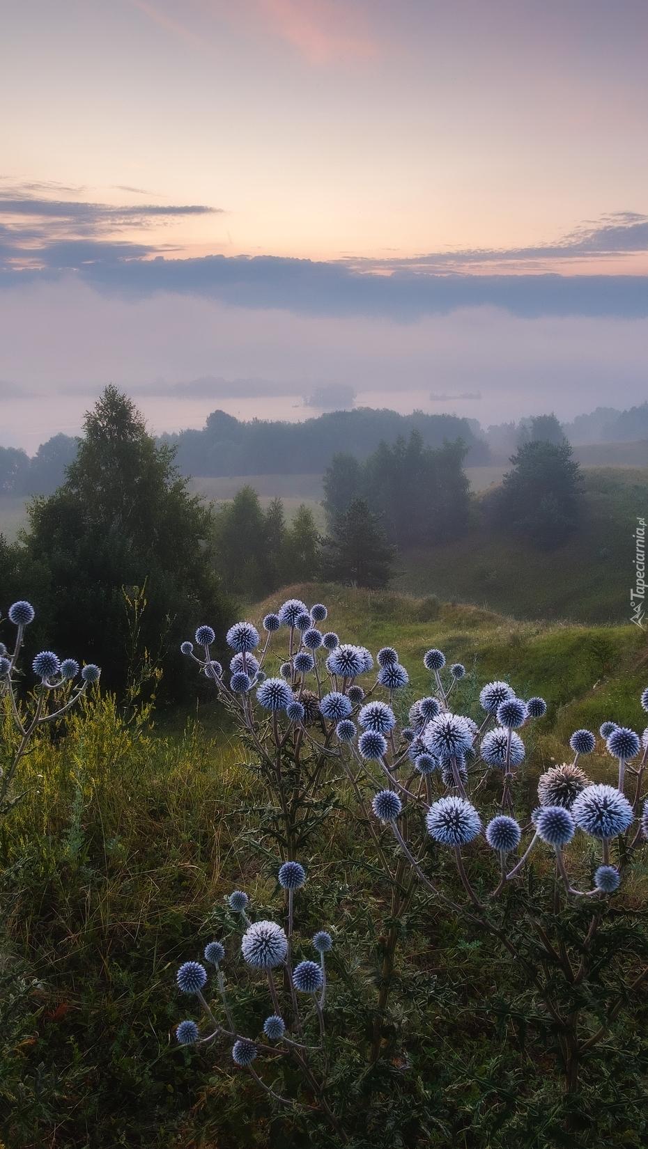 Przegorzan kulisty na wzgórzach