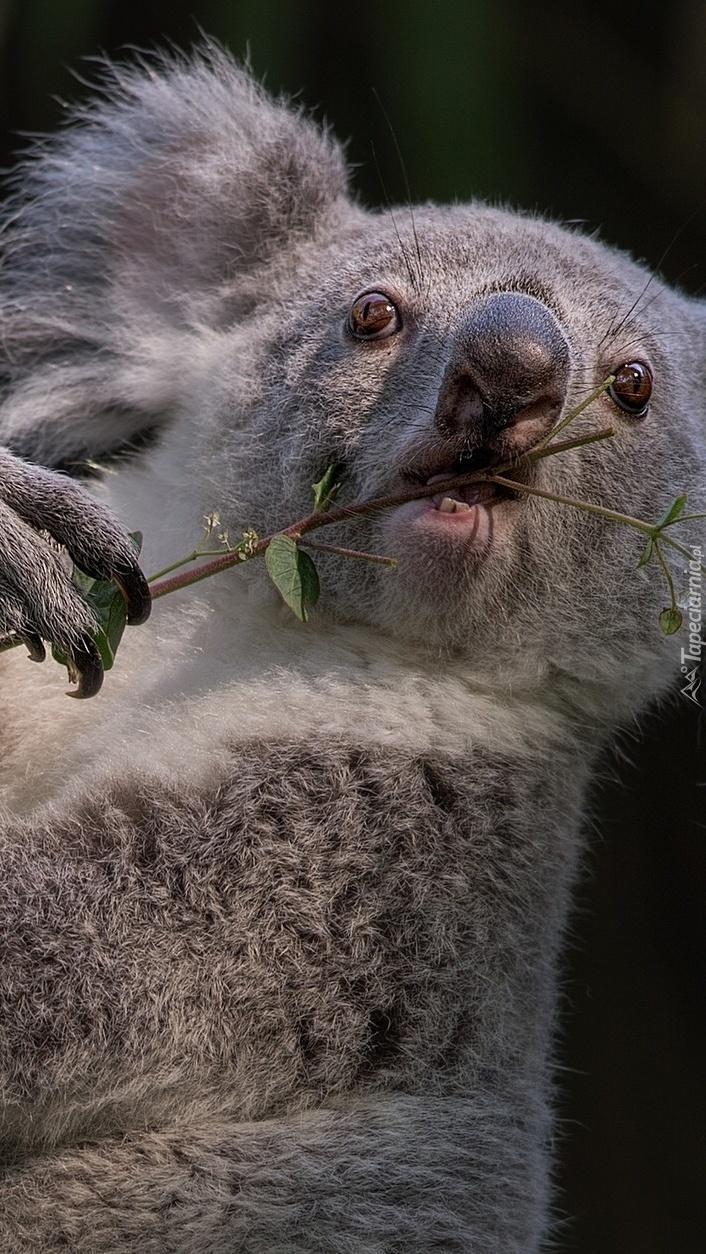Przekąska misia koala