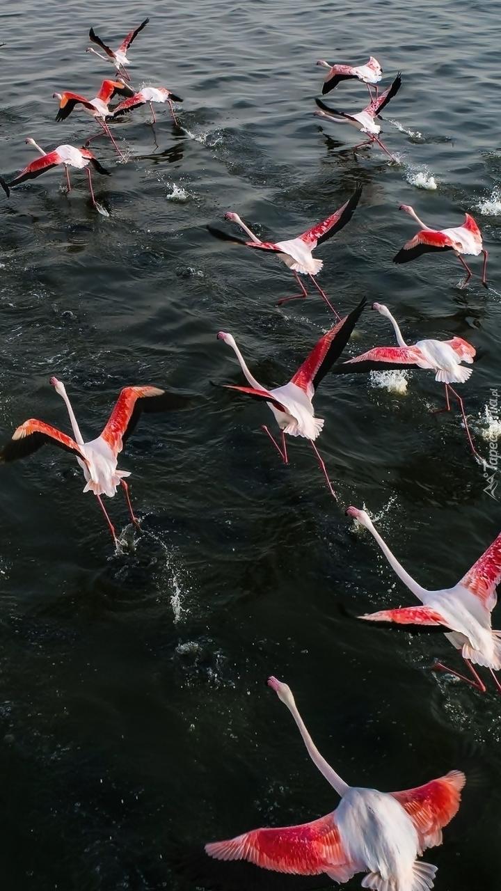 Przelot flamingów nad wodą