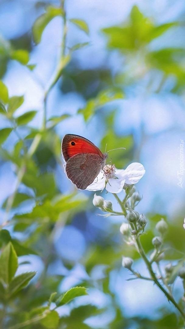 Przestrojnik titonus na białym kwiatku