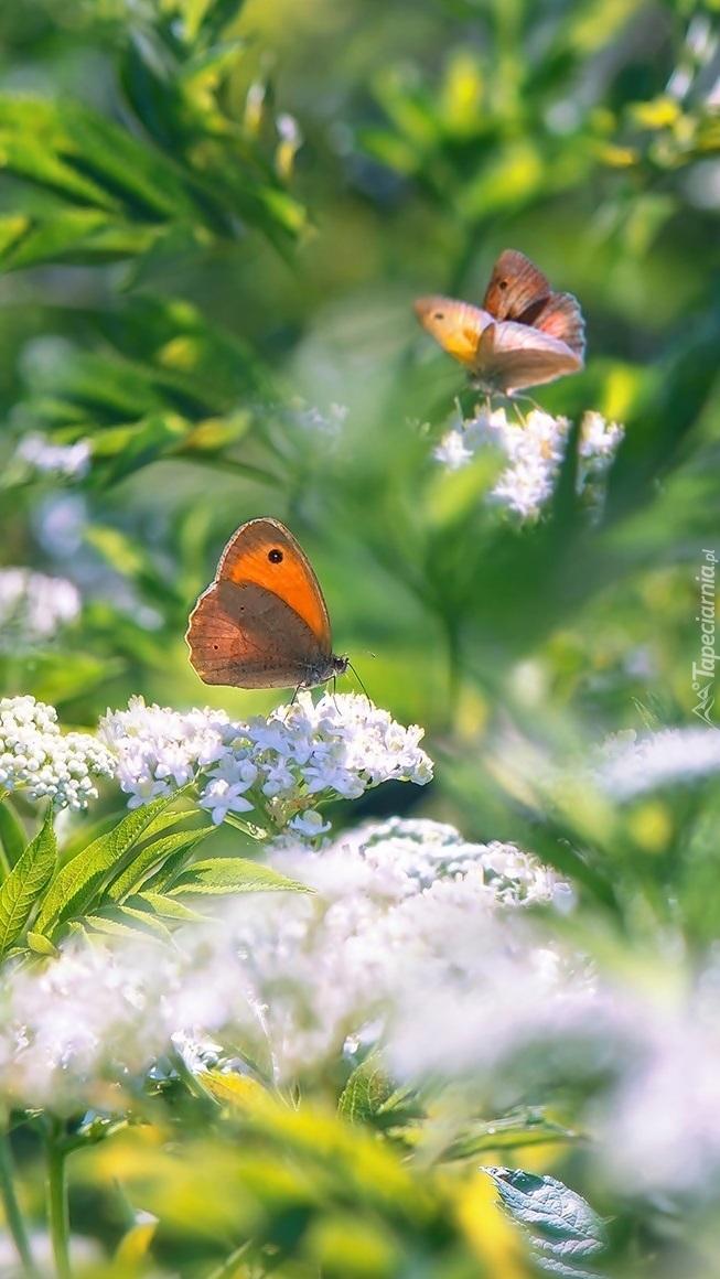 Przestrojniki titonusy na kwiatkach