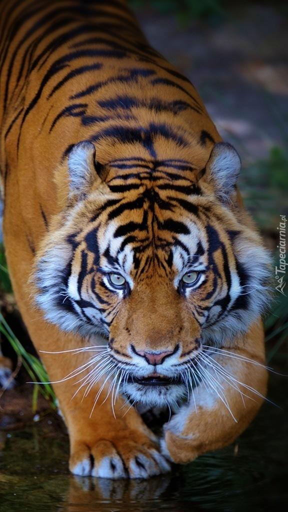 Przyczajony tygrys nad wodą