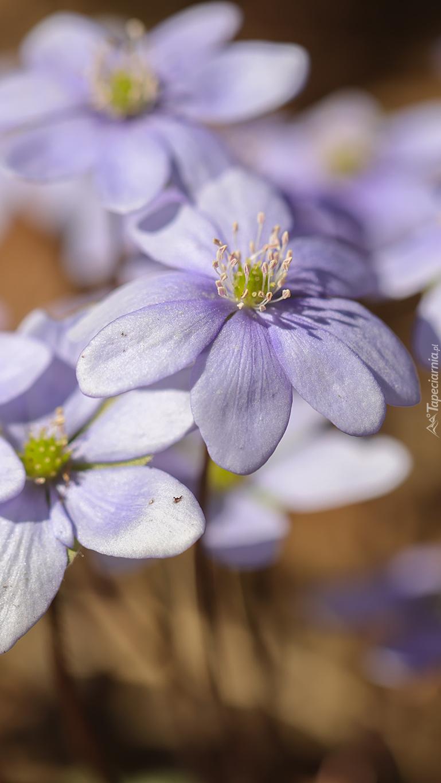 Przylaszczki wiosenne