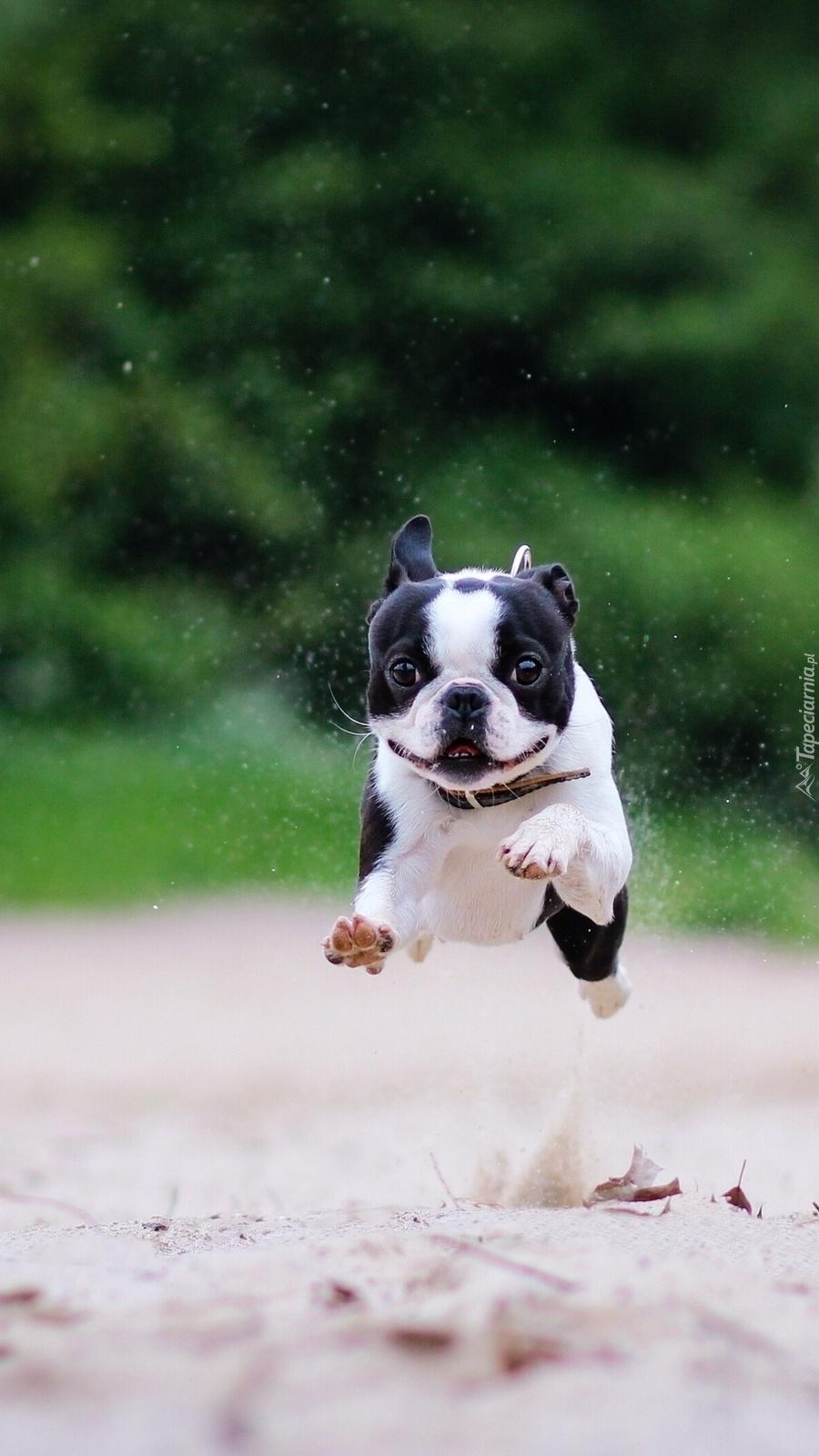 Psiak trenuje skok wzwyż lub skok w dal