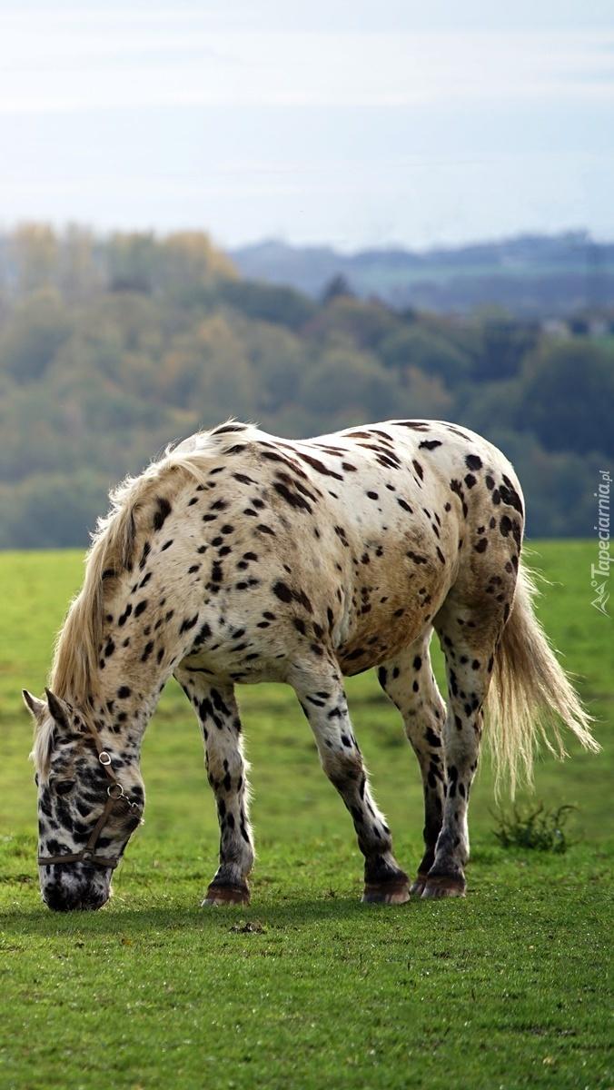 Pstrokaty koń