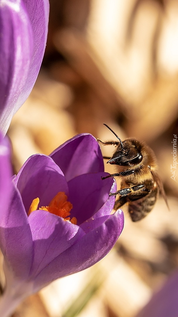Pszczoła na fioletowym krokusie