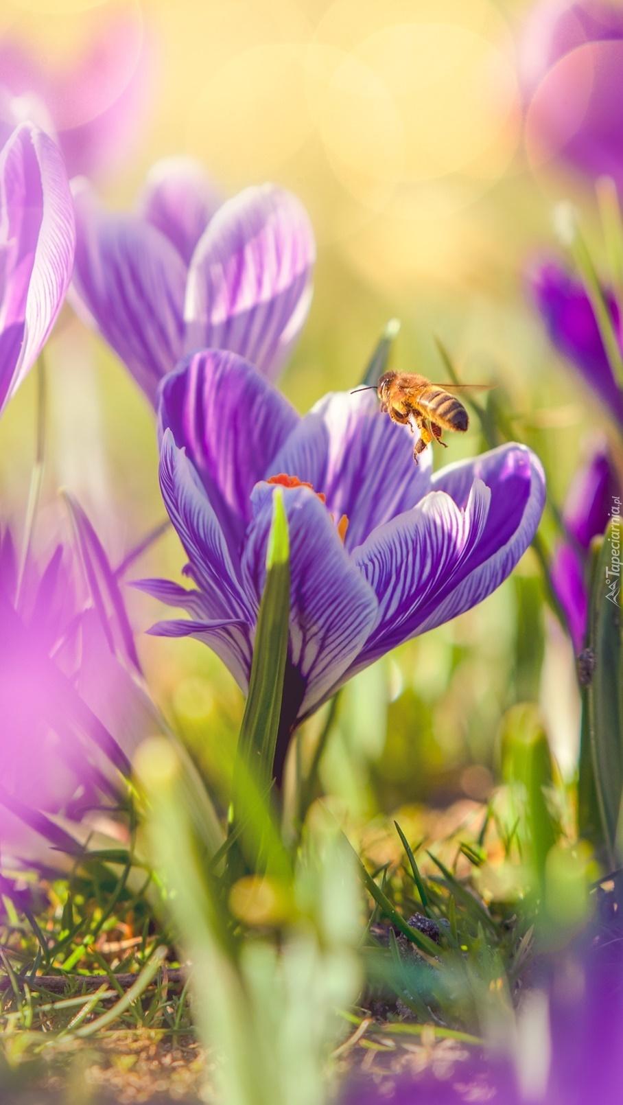 Pszczoła na krokusie