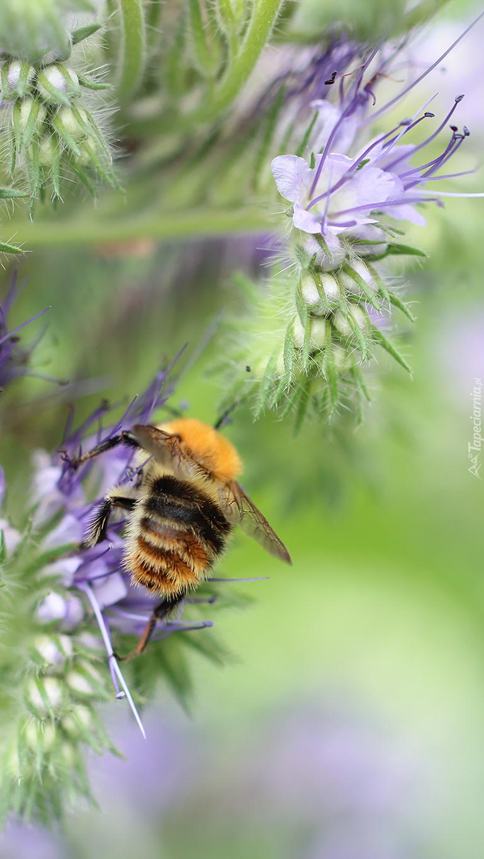 Pszczoła na kwiatach zbiera nektar
