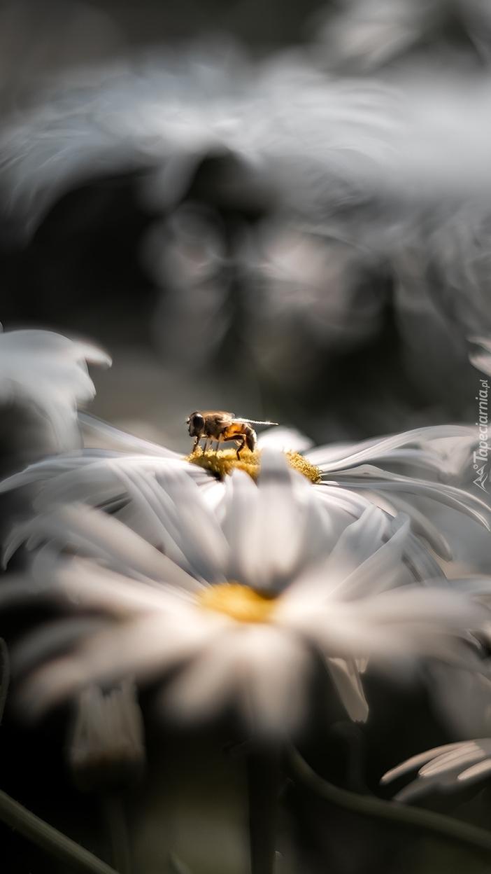 Pszczoła na kwiatku