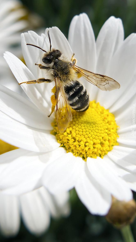 Pszczoła na margerytce