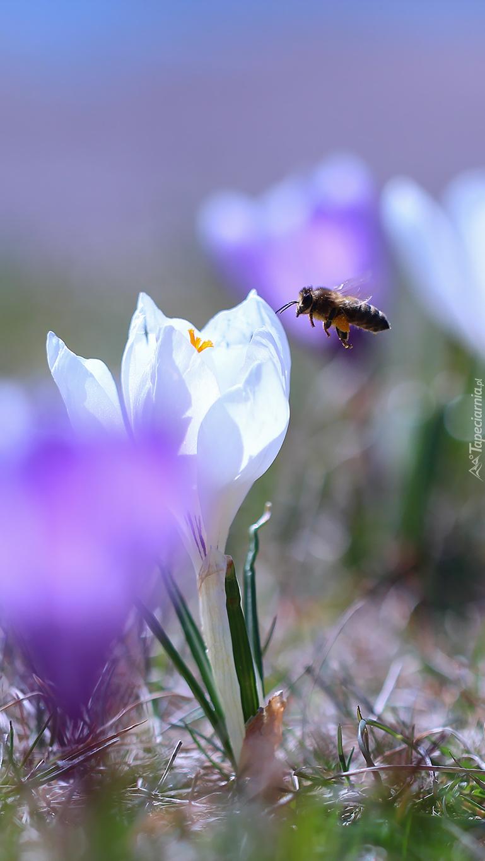 Pszczoła nad białym krokusem