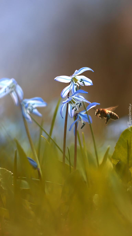 Pszczoła obok cebulic syberyjskich