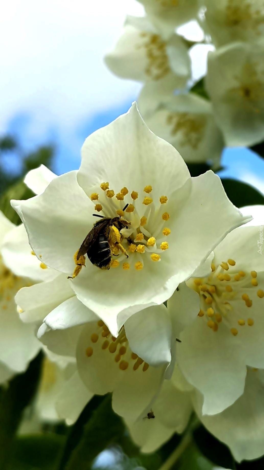 Pszczoła w kwiecie jaśminu