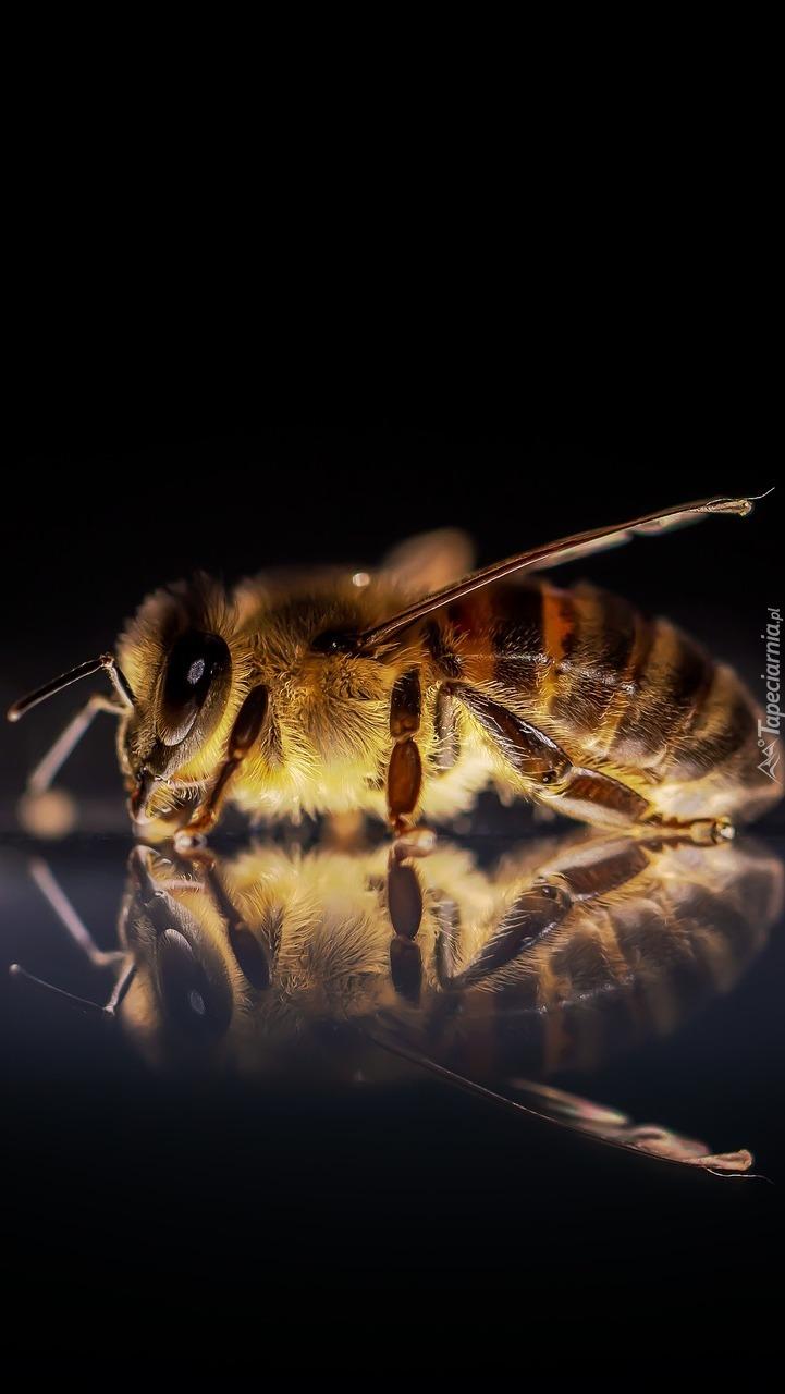 Pszczoła w makro