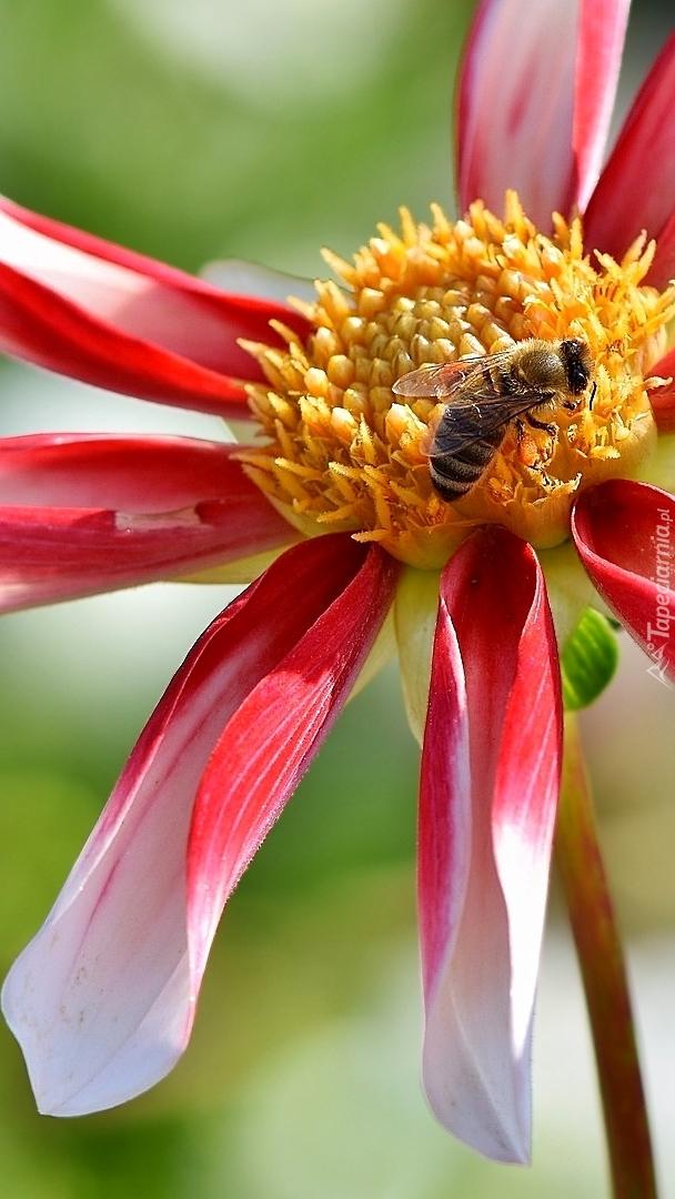 Pszczoła zbierająca nektar