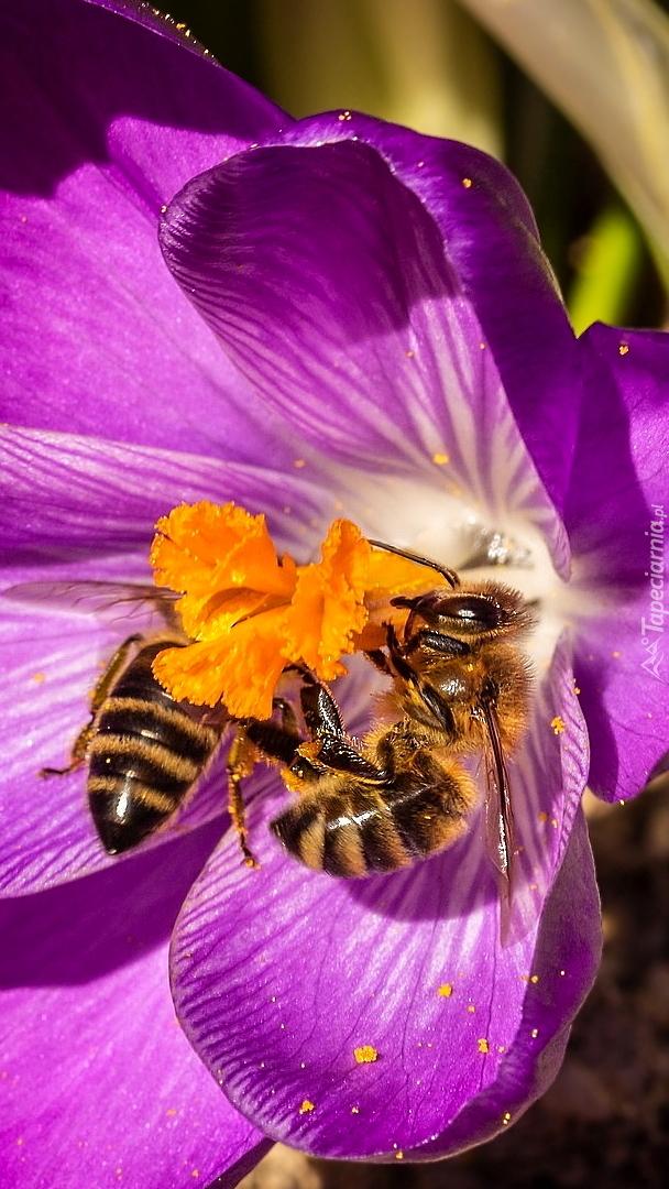 Pszczoły na krokusie