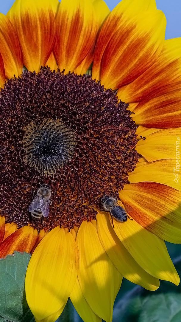 Pszczoły na słoneczniku