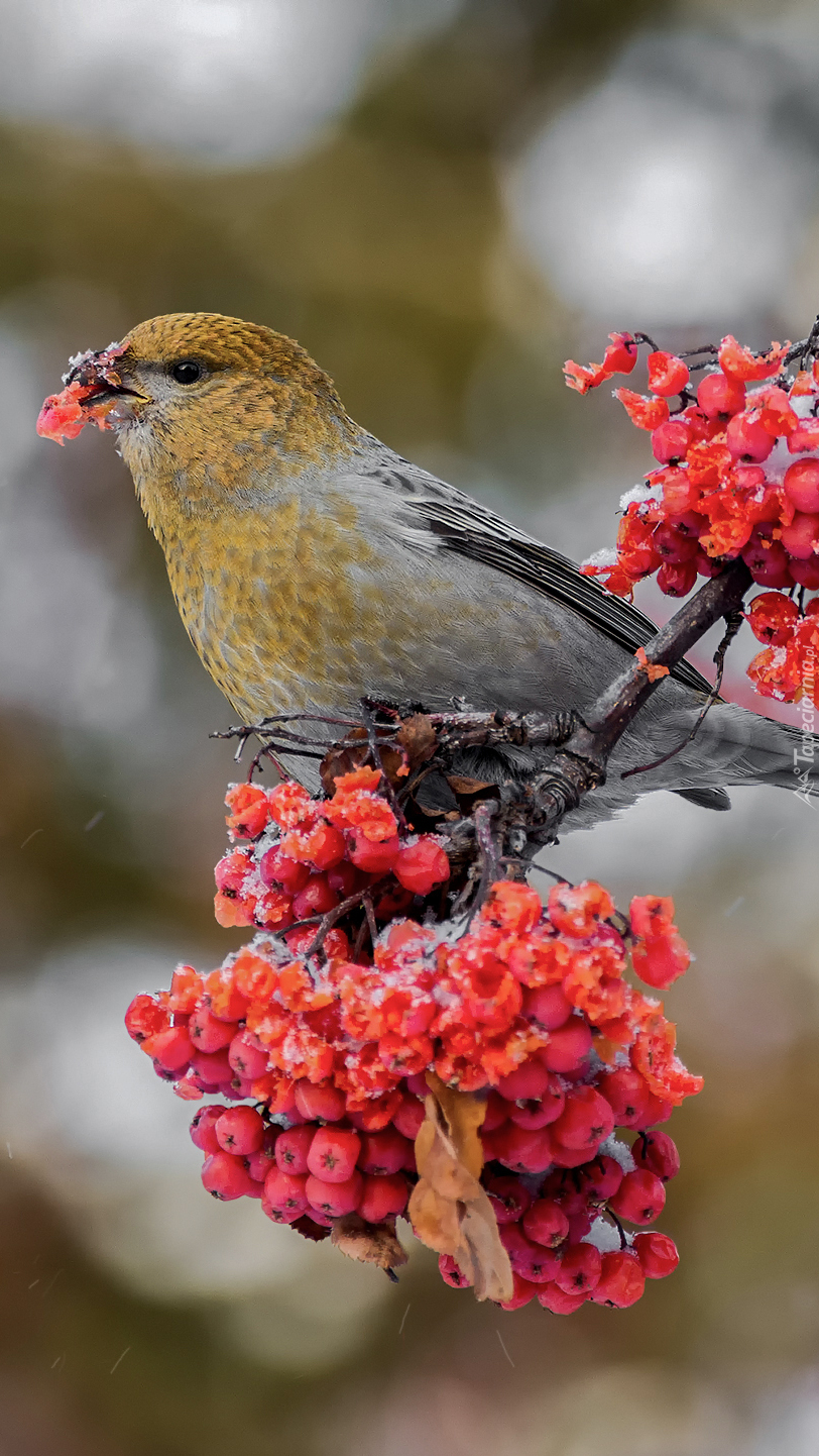 Ptak na jarzębinie