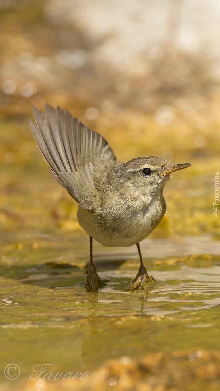 Ptak pierwiosnek