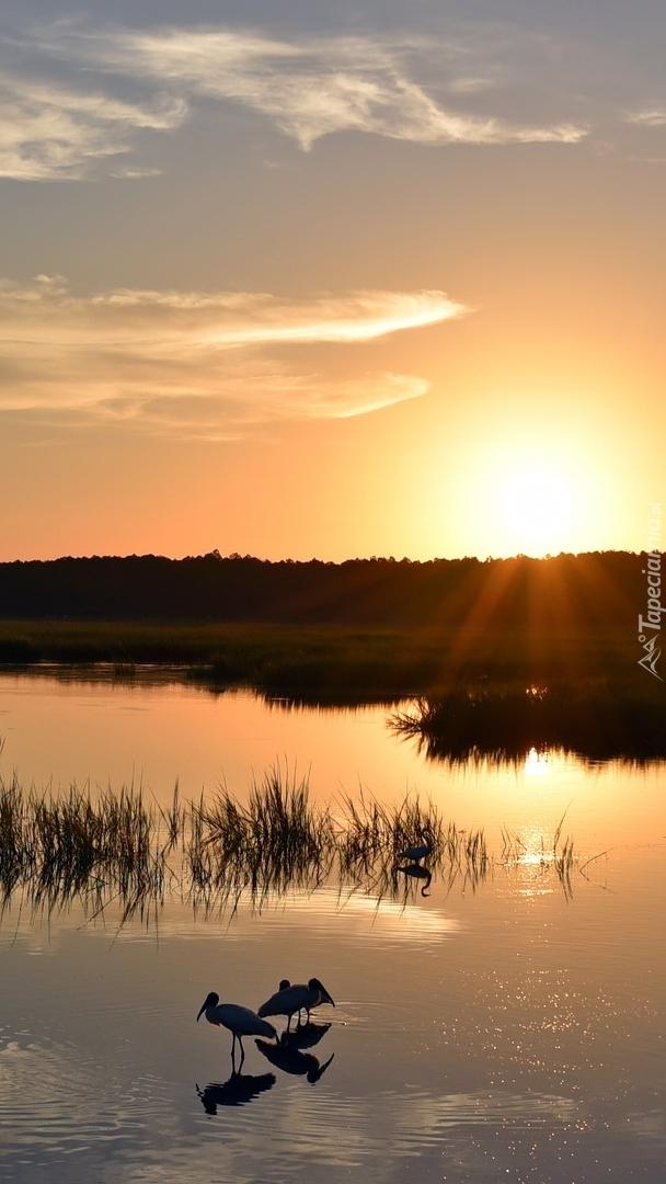 Ptaki na jeziorze i trawy przy wschodzie słońca