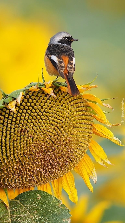 Ptaszek na słoneczniku
