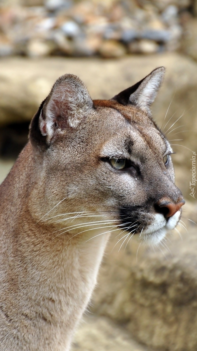 Puma kostarykańska z profilu