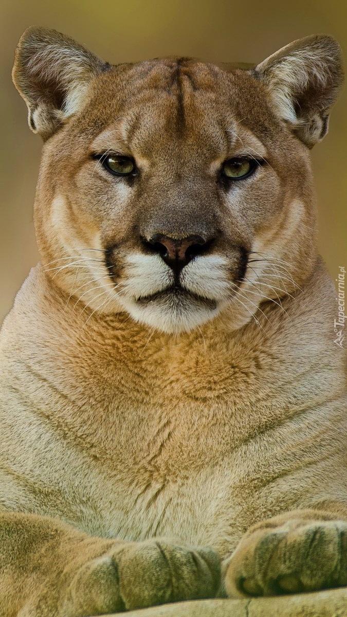 Puma pozuje do zdjęcia