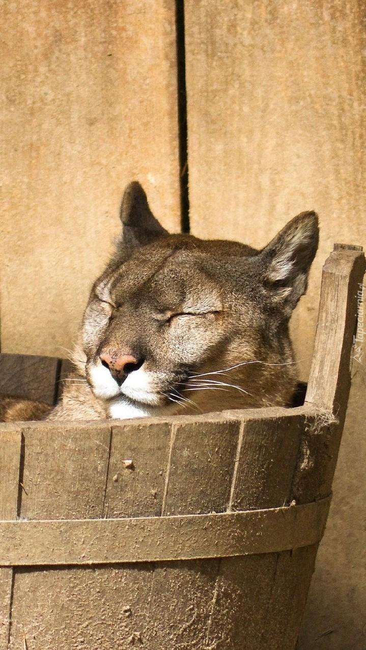 Puma śpiąca w drewnianym cebrze
