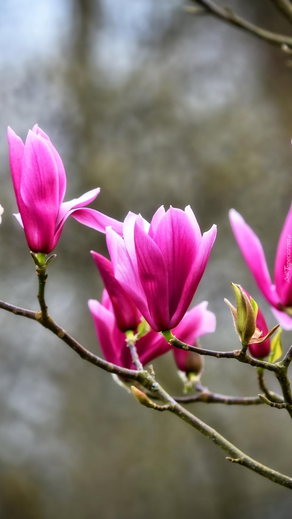Purpurowa magnolia