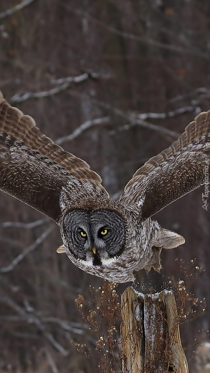 Puszczyk z rozpostartymi skrzydłami