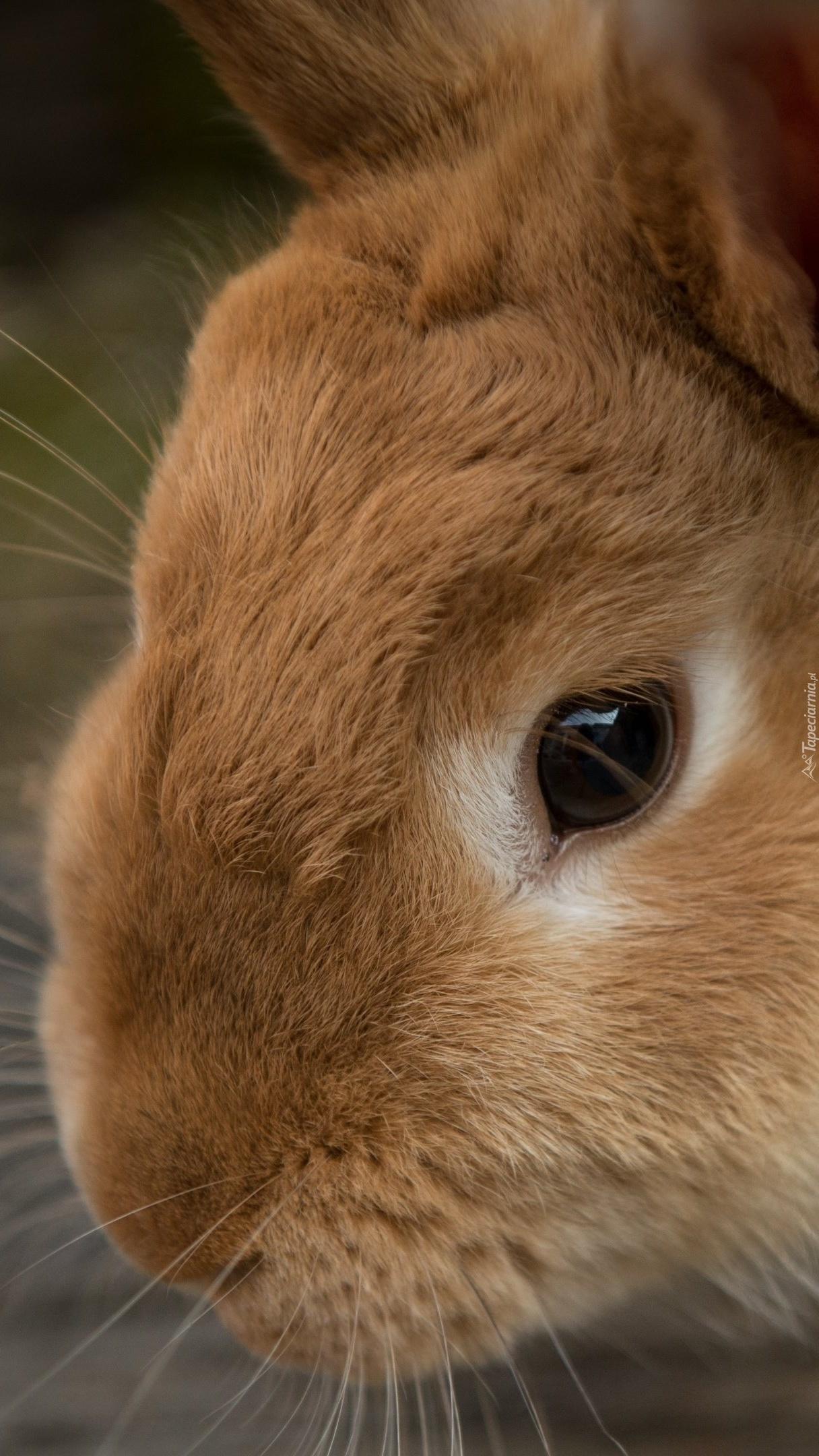 Pyszczek brązowego królika w zbliżeniu