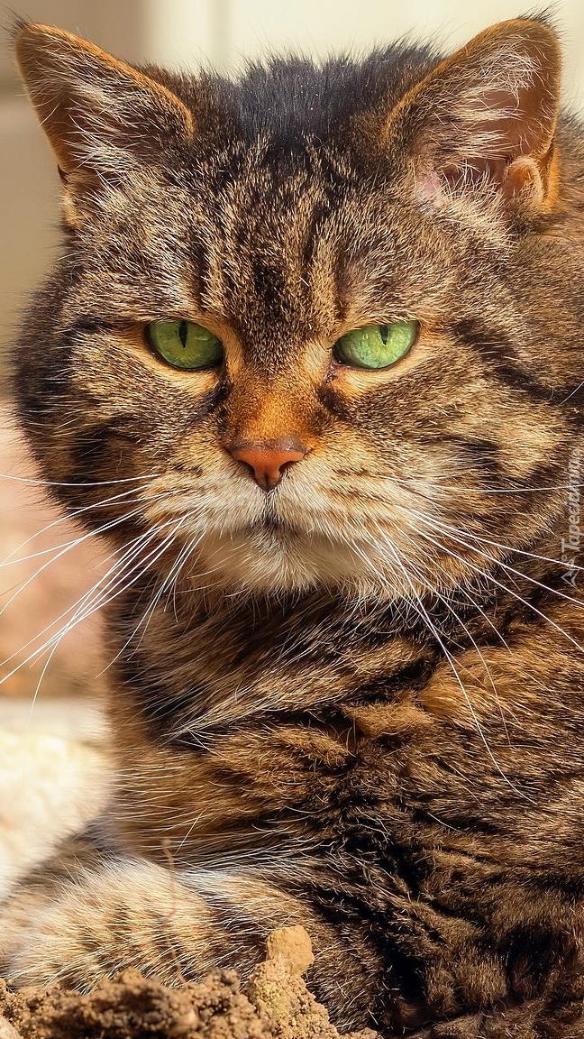 Pyszczek burego kota