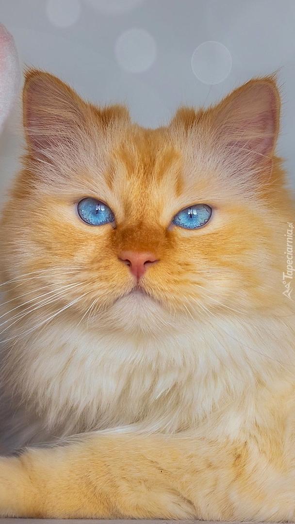 Pyszczek rudawego kota