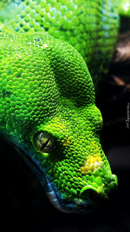 Pyton zielony