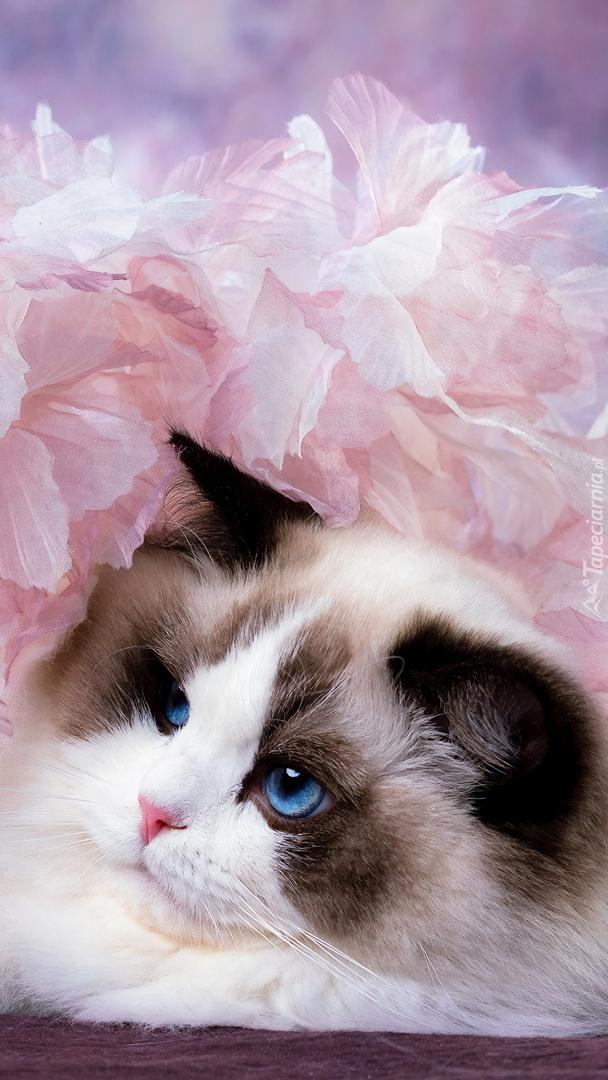 Ragdoll w różowych kwiatach