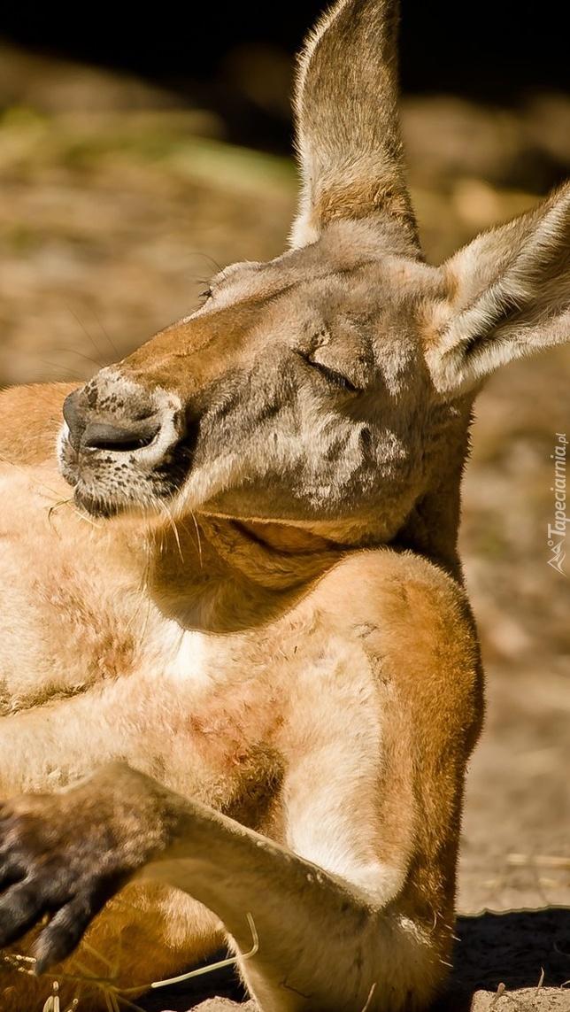 Relaksujący się kangur