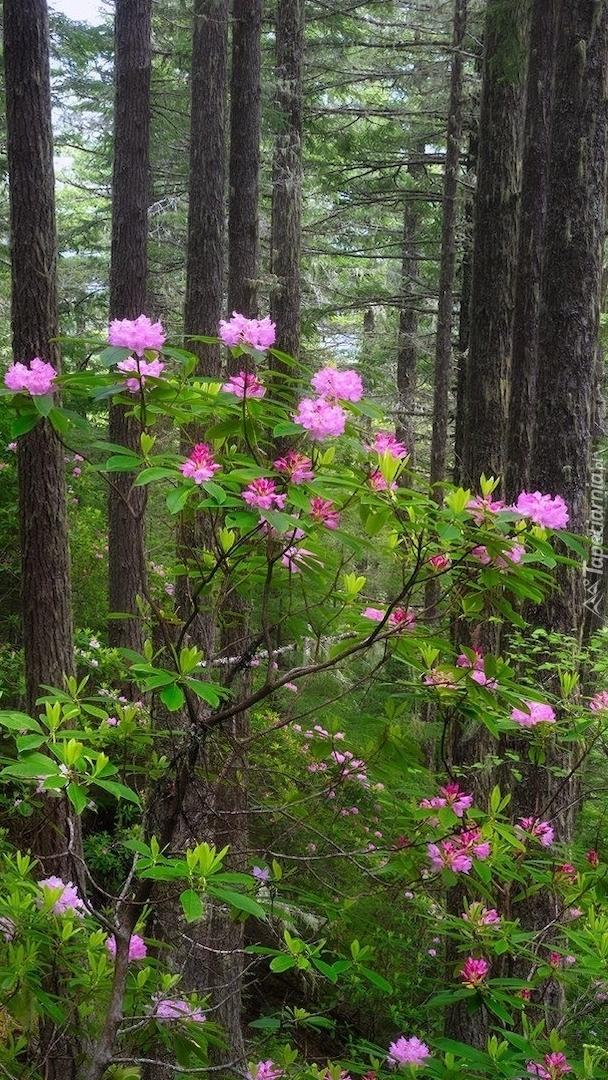 Rododendrony przy drzewach