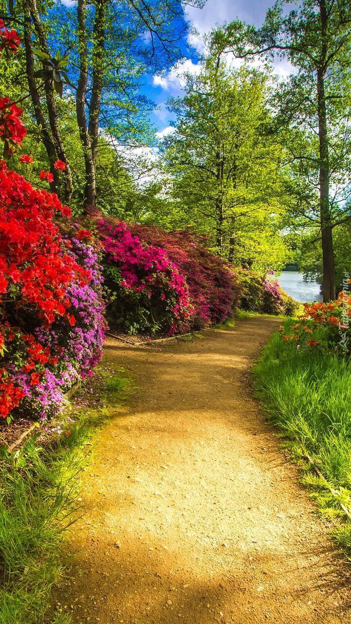 Rododendrony przy parkowej alejce