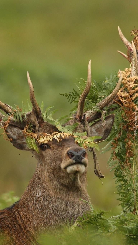 Rogi jelenia w roślinach