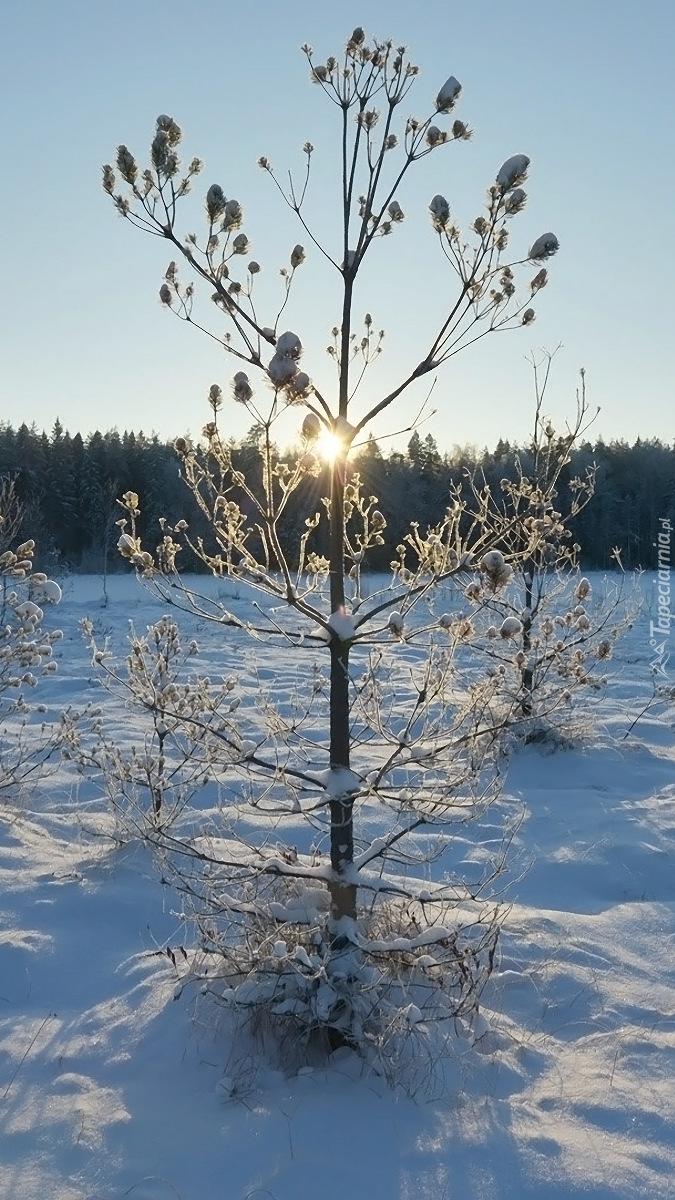 Rośliny w śniegu