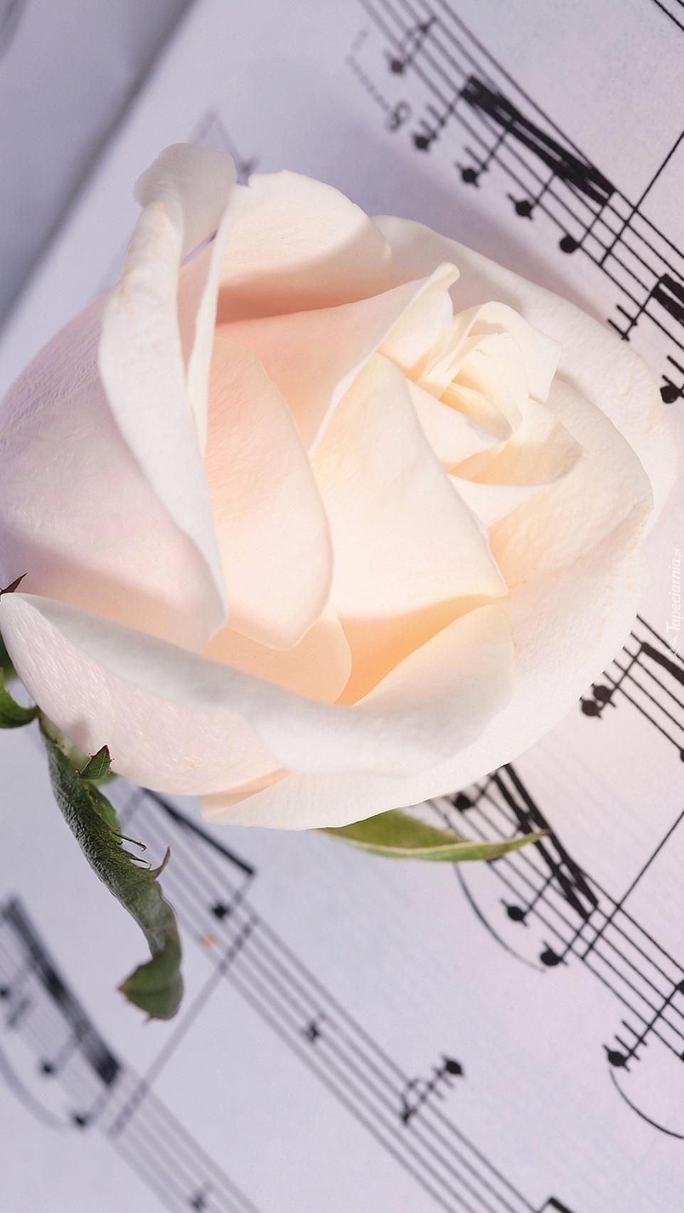Róża na nutach