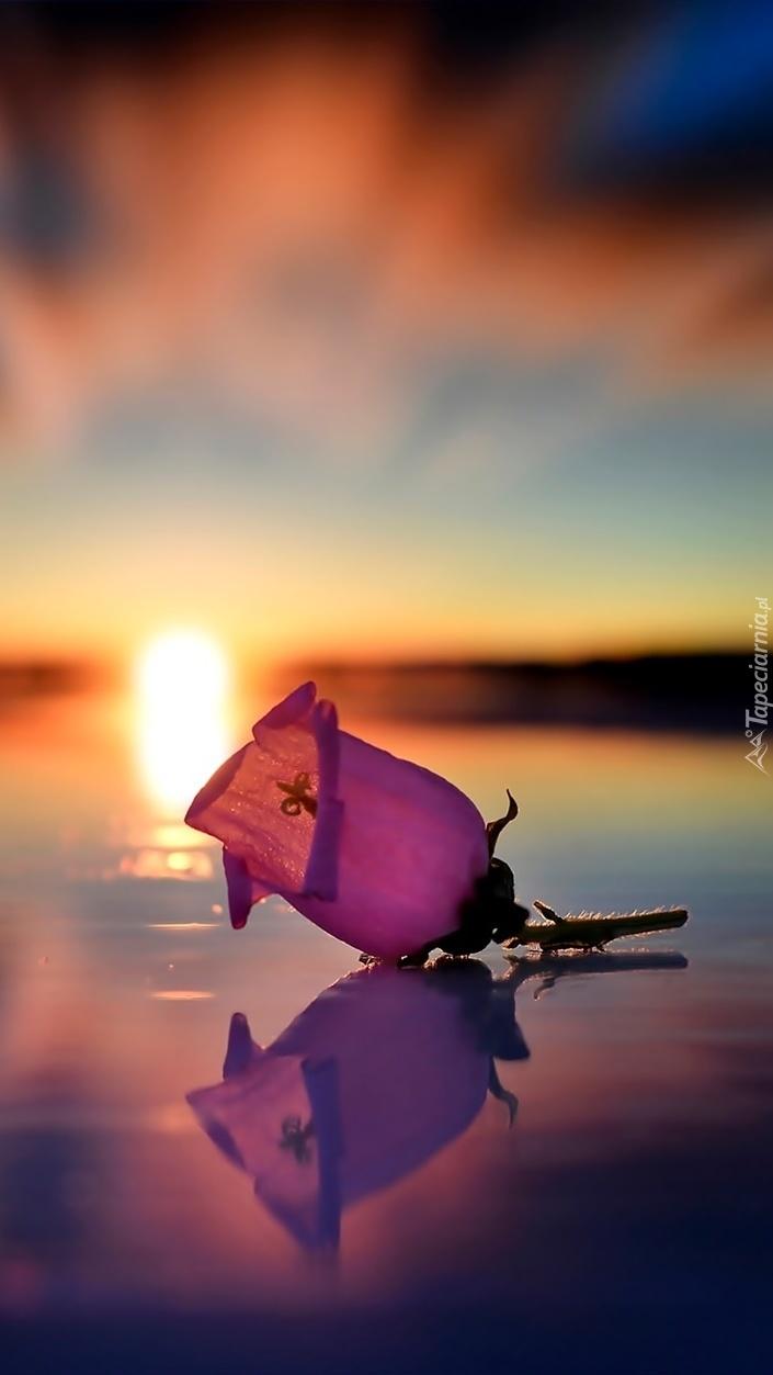 Róża w świetle zachodzącego słońca odbija się w wodzie
