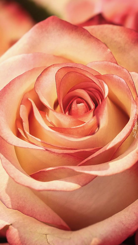 Róża w zbliżeniu
