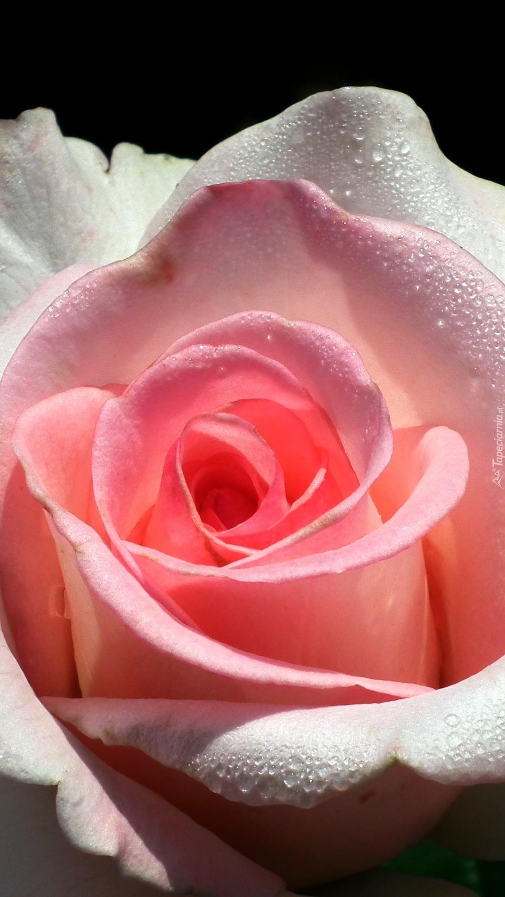 Róża z kropelkami rosy