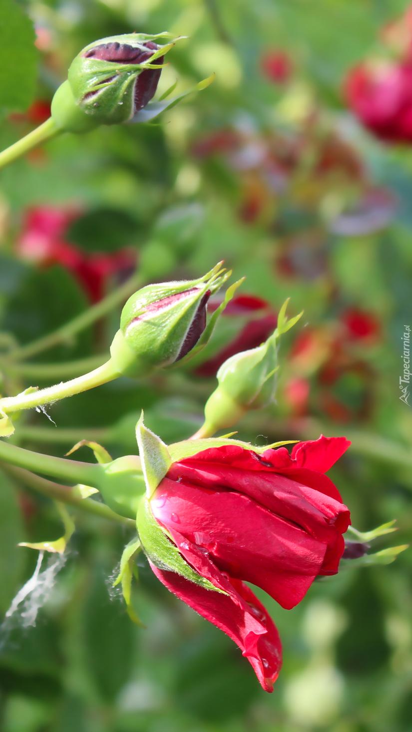 Róża z pąkami