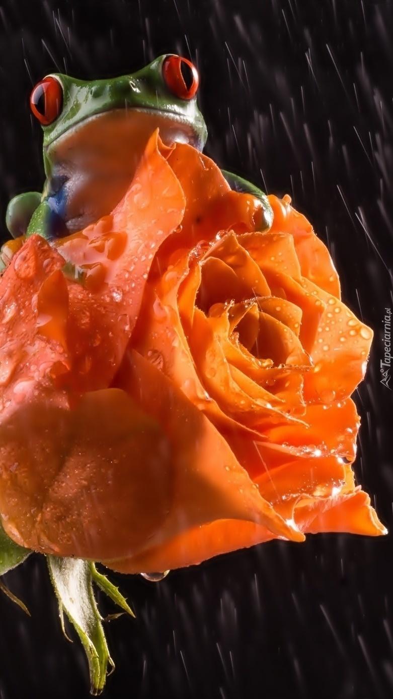Róża z żabą w deszczu