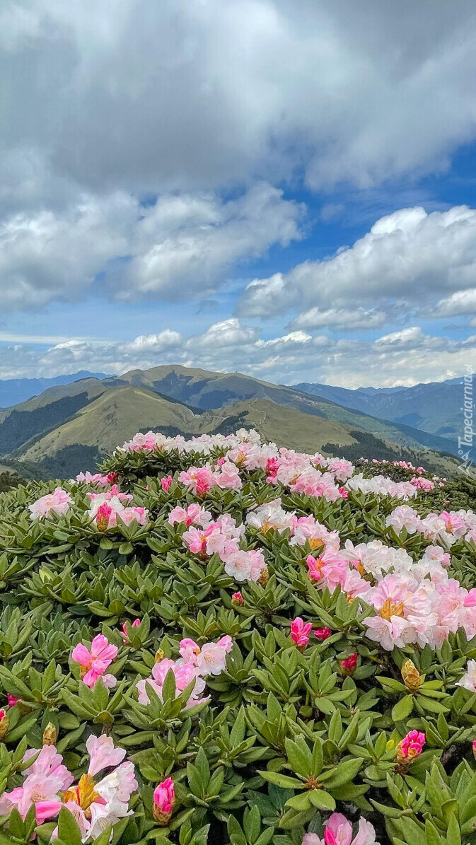Różanecznik na tle gór