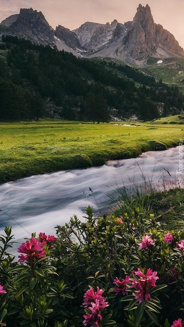 Różanecznik nad rwąca rzeką w górach